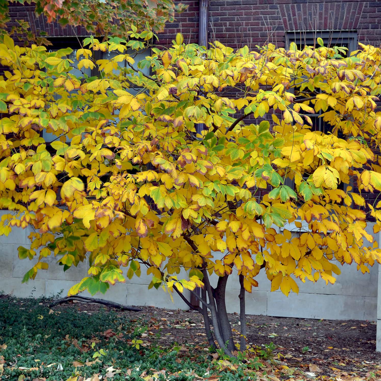 <i>Bottlebrush buckeye fall color<br />Photo Credits: Purdue Arboretum</i>