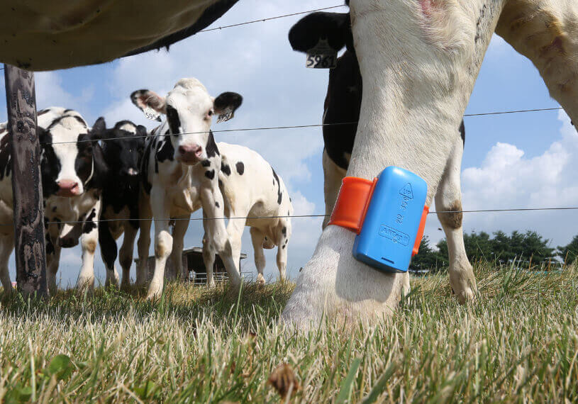 A dairy cow wears a pedometer, which is used to track activity.