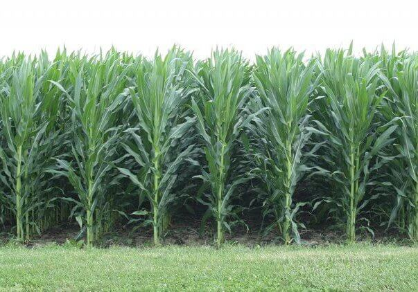 Row of Corn