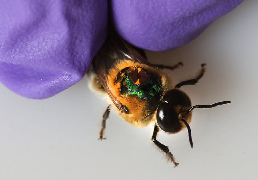Bee with RFID and a gloved hand