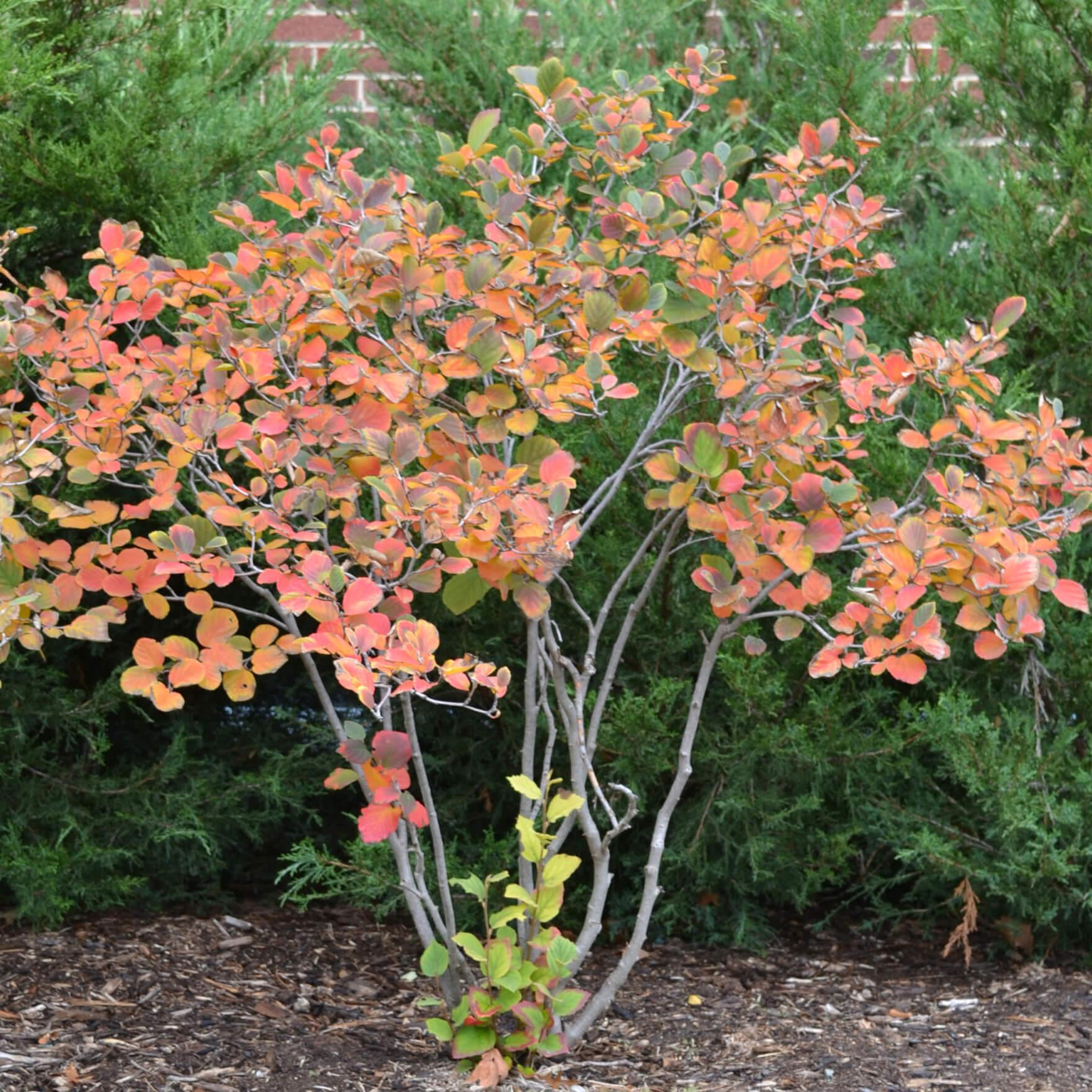 Fothergorilla Tree