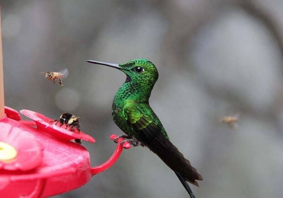 Hummingbird and bees at hummingbird feeder